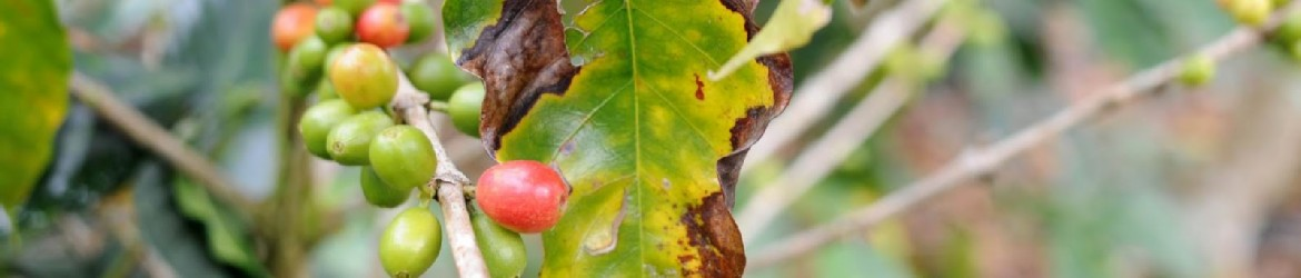Leaf rust is a disease that attacks coffee plants