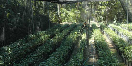 Coffee seedlings at the Ijen Plateau