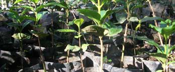 Coffee seedlings under plastic - Ijen Plateau, East Java